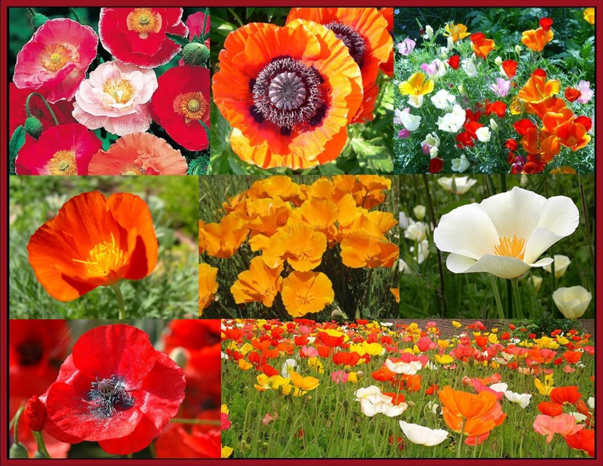 August Birth Flower Lilygrass