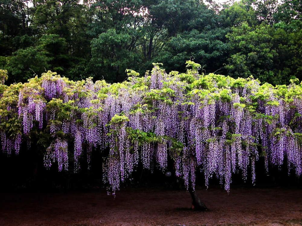 Everything To Know About Wisteria Lilygrass