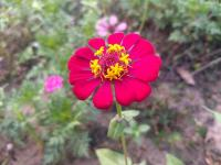 Flower Spotlight: Zinnia
