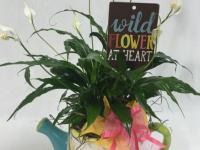 Flower spotlight: Peace lily Plant
