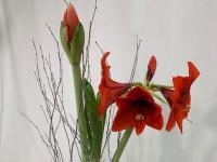 Flower Spotlight: Amaryllis