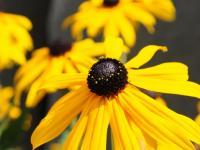 Flower spotlight: black-eyed susan (rudbeckia)