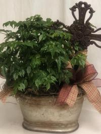 china doll potted plant