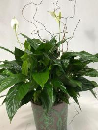 decorated peace lily
