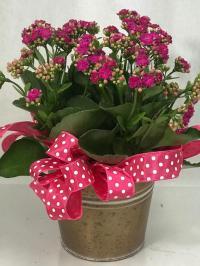 Kalanchoe blooming plant