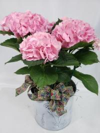 hydrangea blooming plant