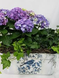 hydrangea blooming plant and english ivy