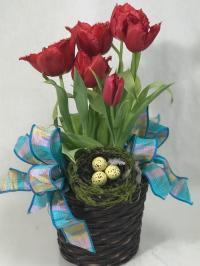 tulip blooming plant