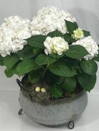 white hydrangea Plant
