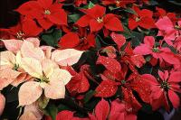 Poinsettia Plants are here