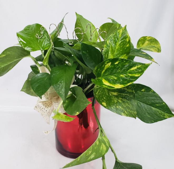 pothos ivy