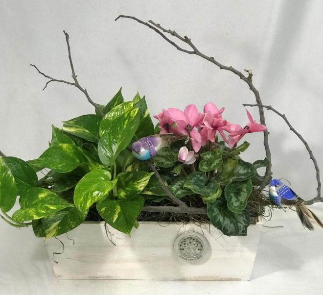 cyclamen and pothos ivy